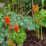 Alnwick-Poison-Arum-lily-berries_w