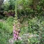Foxglove,-pink,-Rose-rugosa,-pink-horsechestnut-nettles-Denham-019_w