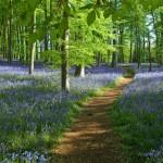 thumb_bluebell_wood-coton_manor_1024